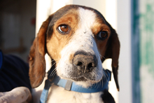 NEOX, Hund, Beagle-Mix in Spanien - Bild 3
