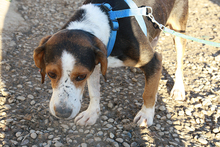 NEOX, Hund, Beagle-Mix in Spanien - Bild 4