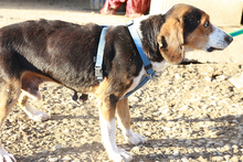 NEOX, Hund, Beagle-Mix in Spanien - Bild 5
