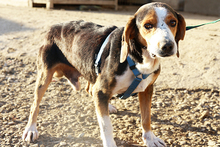 NEOX, Hund, Beagle-Mix in Spanien - Bild 6