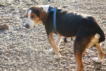NEOX, Hund, Beagle-Mix in Spanien - Bild 8