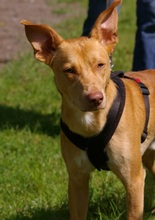 MIGO, Hund, Podenco-Mix in Solingen - Bild 11