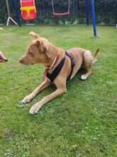 MIGO, Hund, Podenco-Mix in Solingen - Bild 5