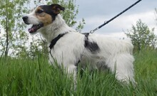 FELIX, Hund, Terrier-Mix in Ungarn - Bild 10