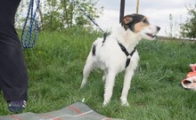 FELIX, Hund, Terrier-Mix in Ungarn - Bild 4