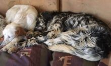 ARON, Hund, English Setter in Röthenbach - Bild 10