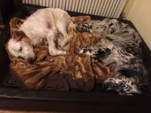 ARON, Hund, English Setter in Röthenbach - Bild 11