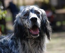ARON, Hund, English Setter in Röthenbach - Bild 2