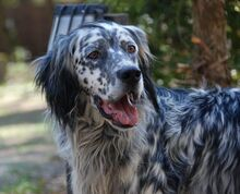 ARON, Hund, English Setter in Röthenbach - Bild 4