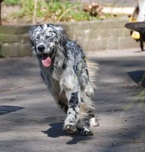 ARON, Hund, English Setter in Röthenbach - Bild 5