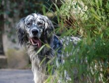 ARON, Hund, English Setter in Röthenbach - Bild 6