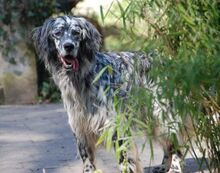 ARON, Hund, English Setter in Röthenbach - Bild 7