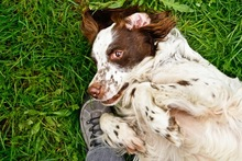 DJOTI, Hund, English Setter in Laufen - Bild 10