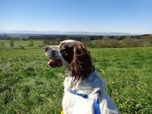 DJOTI, Hund, English Setter in Laufen - Bild 5