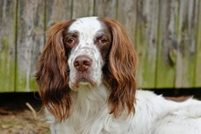 DJOTI, Hund, English Setter in Laufen - Bild 6