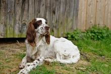 DJOTI, Hund, English Setter in Laufen - Bild 8
