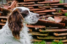DJOTI, Hund, English Setter in Laufen - Bild 9