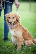 KARLI, Hund, Golden Retriever-Mix in Ungarn - Bild 1