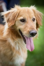 KARLI, Hund, Golden Retriever-Mix in Ungarn - Bild 2