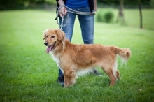 KARLI, Hund, Golden Retriever-Mix in Ungarn - Bild 3