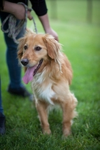 KARLI, Hund, Golden Retriever-Mix in Ungarn - Bild 4