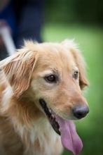 KARLI, Hund, Golden Retriever-Mix in Ungarn - Bild 5