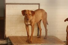 FUCHUR, Hund, Podenco-Mix in Spanien - Bild 1