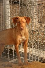 FUCHUR, Hund, Podenco-Mix in Spanien - Bild 2
