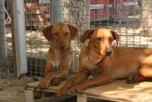 FUCHUR, Hund, Podenco-Mix in Spanien - Bild 4