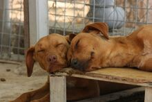 FUCHUR, Hund, Podenco-Mix in Spanien - Bild 5