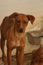 BENJI, Hund, Podenco-Mix in Spanien - Bild 1