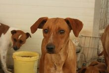 BENJI, Hund, Podenco-Mix in Spanien - Bild 3