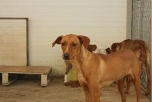 BENJI, Hund, Podenco-Mix in Spanien - Bild 4