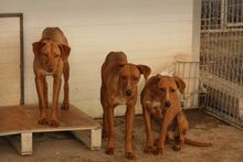 BENJI, Hund, Podenco-Mix in Spanien - Bild 5
