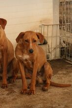 MOGLI, Hund, Podenco-Mix in Spanien - Bild 1