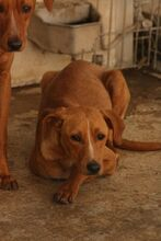 MOGLI, Hund, Podenco-Mix in Spanien - Bild 2