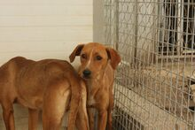 MOGLI, Hund, Podenco-Mix in Spanien - Bild 3