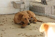 MOGLI, Hund, Podenco-Mix in Spanien - Bild 4