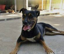 BONNY, Hund, Pinscher-Mix in Portugal - Bild 1
