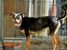 BONNY, Hund, Pinscher-Mix in Portugal - Bild 7