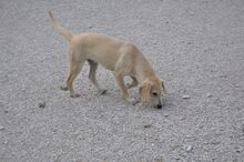 BILL, Hund, Segugio Italiano-Mix in Italien - Bild 4