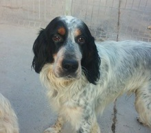 GIN, Hund, English Setter in Spanien - Bild 1