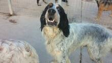 GIN, Hund, English Setter in Spanien - Bild 2