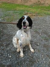 GIN, Hund, English Setter in Spanien - Bild 7