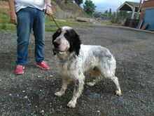 GIN, Hund, English Setter in Spanien - Bild 8