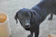 HALEY, Hund, Labrador-Mix in Italien - Bild 7
