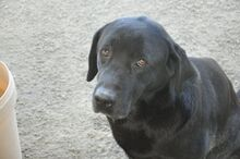 HALEY, Hund, Labrador-Mix in Italien - Bild 9