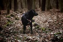 EMMA, Hund, Labrador-Mix in Hainburg - Bild 6