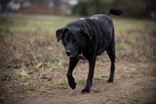 EMMA, Hund, Labrador-Mix in Hainburg - Bild 7