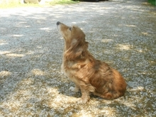 MINYUS, Hund, Dackel-Mix in Ungarn - Bild 1